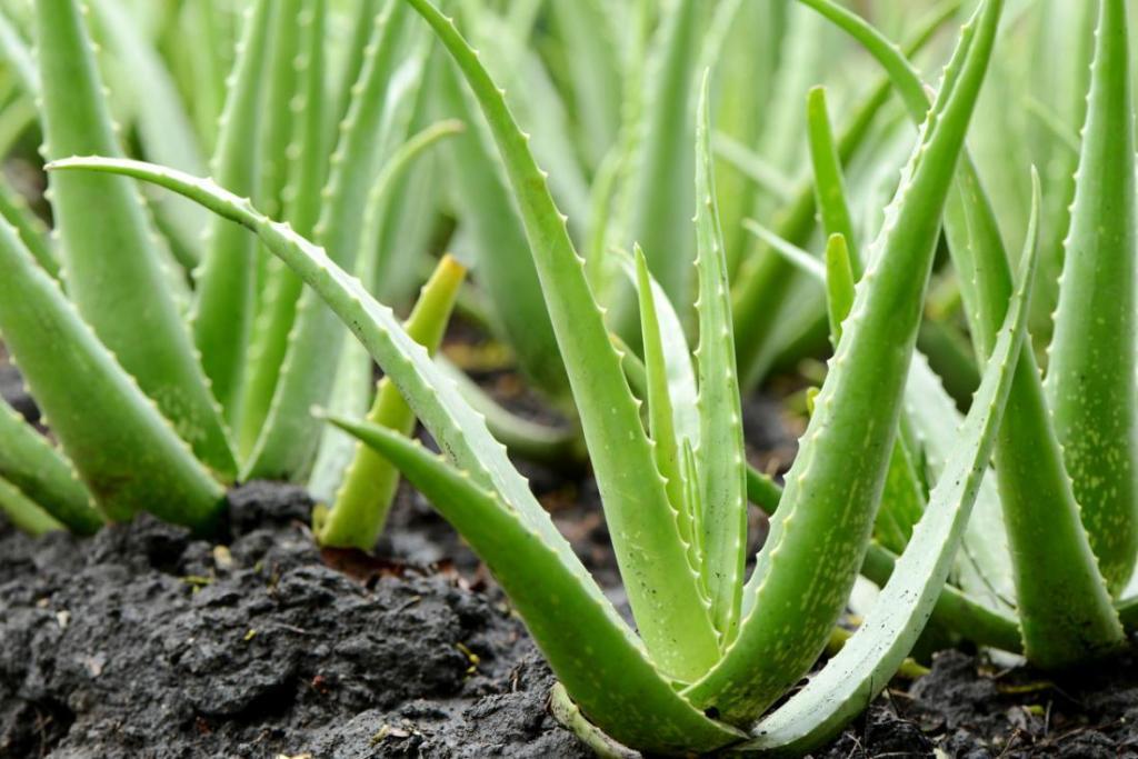 Gel aloe vera yang sejuk dan bersifat antiradang sangat bagus untuk merawat kegatalan, menyembuhkan luka dan membantu hilangkan kesan gigitan nyamuk.